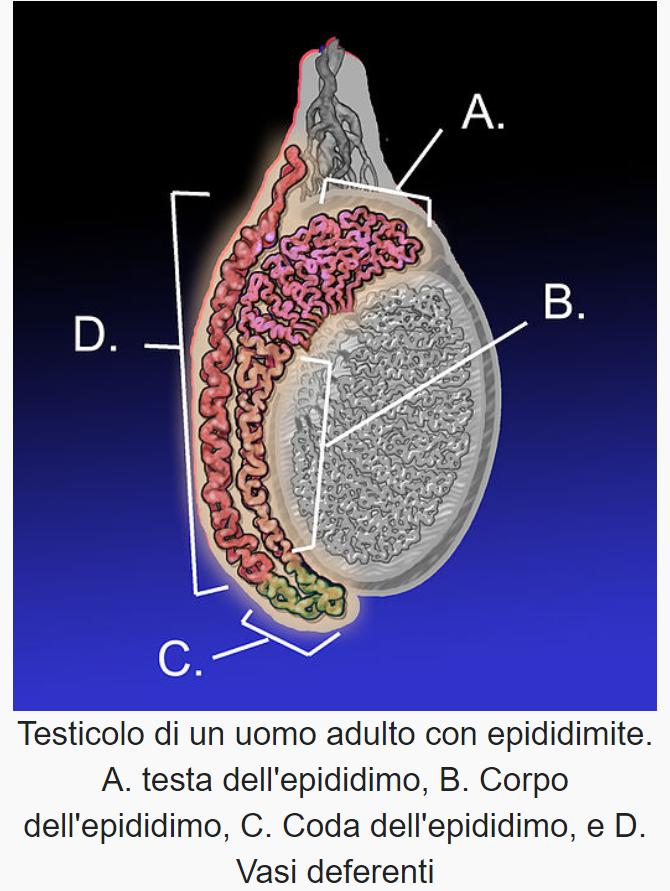 epididimite fertilita' maschile