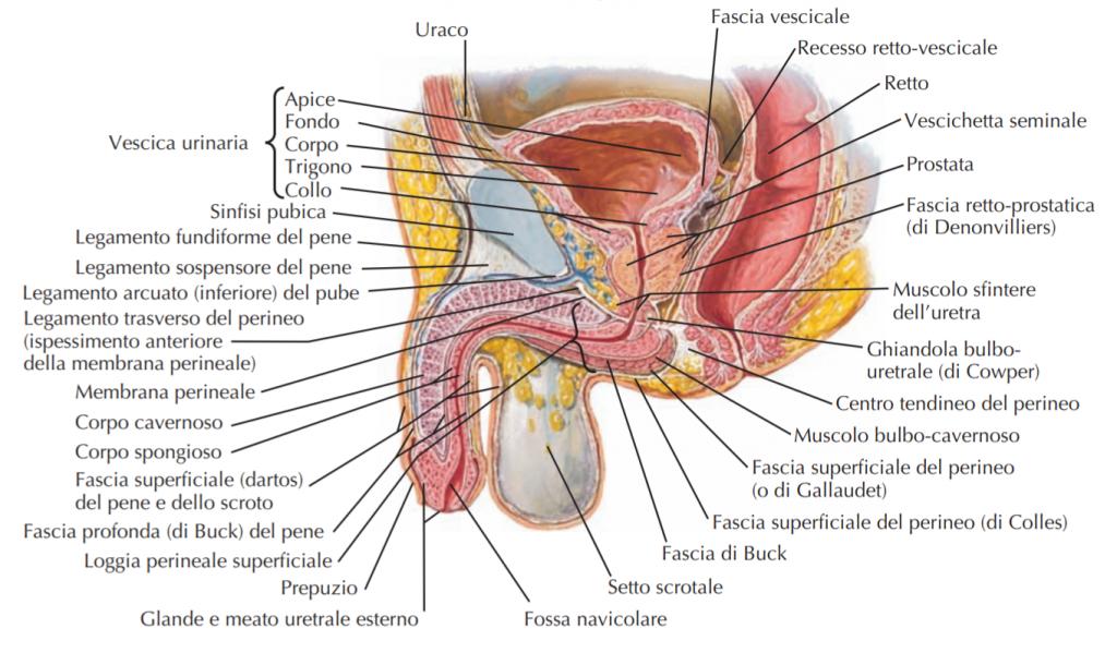 fertilita' maschile e infertilita' maschile