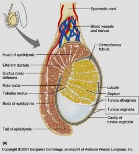 azoospermia ostruttiva cure