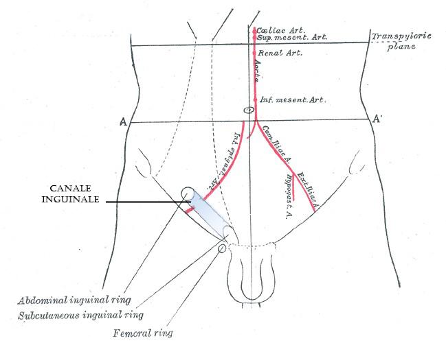 testicoli retrattili e canale inguinale